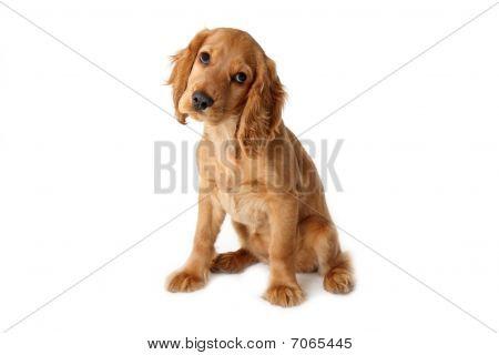 English Cocker Spaniel Baby Dog