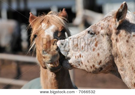 Two Horses Kissing With Mouth Open
