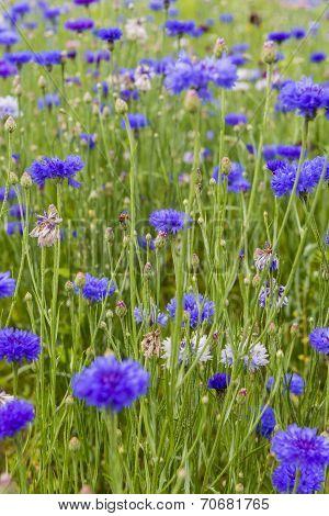 Bluebottle Meadow