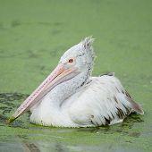 Beautiful waterbird Spot-billed Pelican ( Pelecanus phillippensis) side profile poster