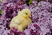 close up yellow chick in lilac flowers poster