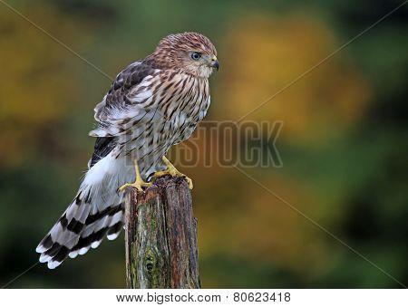 Perched Cooper's Hawk