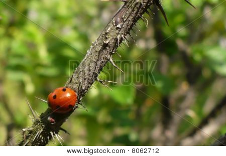 Ladybird & Thorny Rose