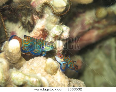 Pair Of Mandarin Fish