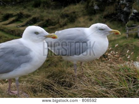 Sea-gulls standing on a cliff poster