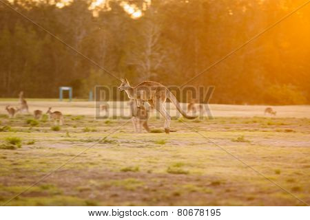 Jumping Kangaroo At Sunset