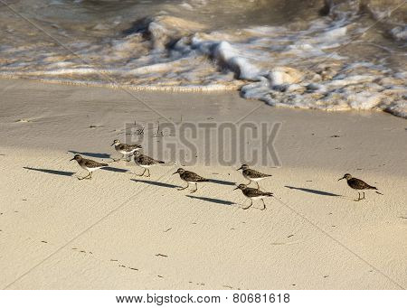 Sandpipers running along the coastal shoreline