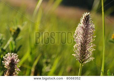 A Plantain
