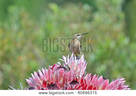 Cape sugarbird on protea flowers Sir Lowreys Pass Cape Town poster