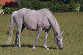 Pasturing grey arabian mare in green field poster