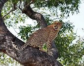 A male Cheetah in a tree in the Kruger Park South Africa. poster