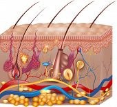 Skin anatomy. Detailed medical illustration beautiful bright colors. poster