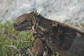 Charles Darwin described the Galapagos land iguana as ugly animals, of a yellowish orange beneath, and of a brownish-red colour above: from their low facial angle they have a singularly stupid appearance. poster