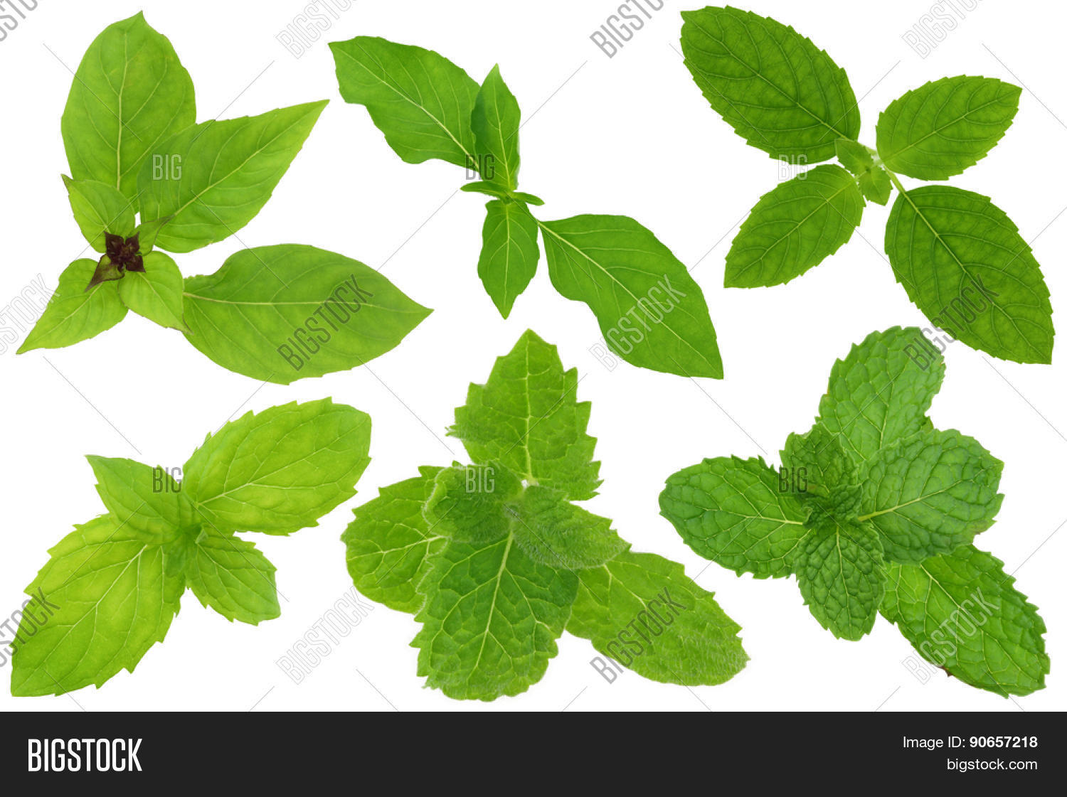 group basil mint leaves isolated on image & photo | bigstock