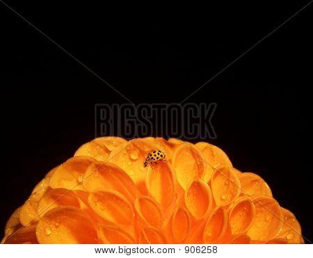 Yellow Ladybird On Dahlia