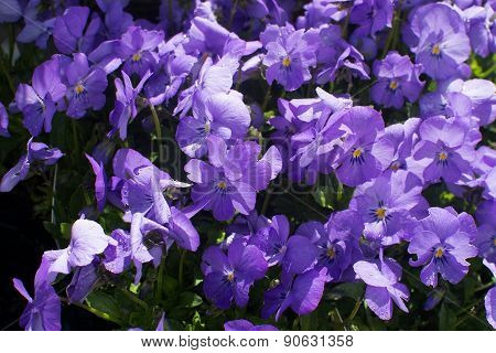 Sweet Purple Violet Flowers