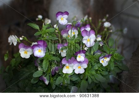 Wild Pansy Or Heartsease Flowers