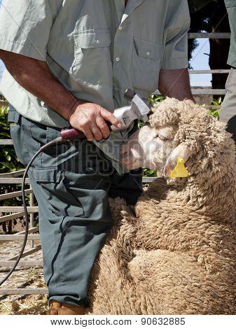 Mature Farmer Shearing Sheep With Clipper
