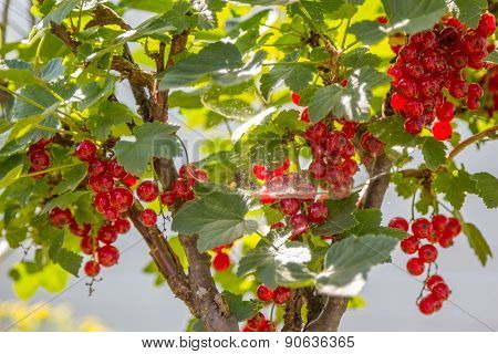Currant Bush With Berries In Web