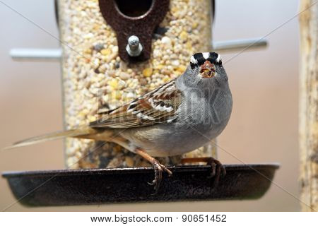 White-crowned Sparrow Eating