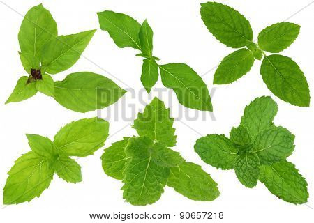 A group of basil and mint leaves isolated on white. Upper row from left to right : Thai sweet basil, Hairy Lemon Basil, Holy basil. Lower row from left to right : Spearmint, Asian Mint, Kitchen Mint