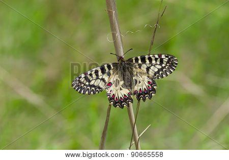 Southern Festoon butterfly in its habitat