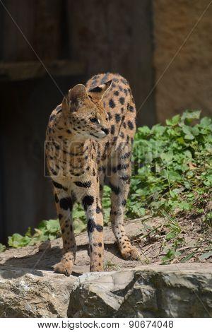 Serval / Leptailurus Serval