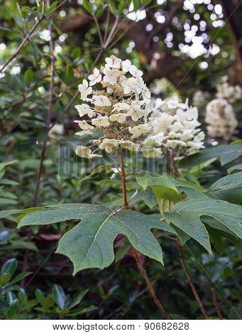 Oakleaf or Oak-Leaf Hydrangea