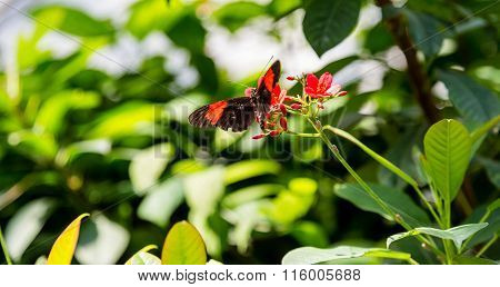 Black And Red Butterfly On Red Flowers