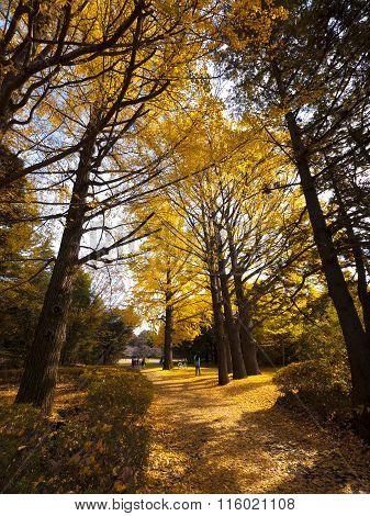 TOKYO, JAPAN, : Showa Kinen Park. Ginkgo leaves turning their colors into yellow