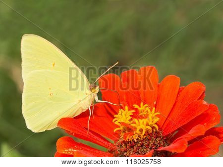 Male Phoebis sennae, Cloudless Sulphur butterfly feeding on a Zinnia flower