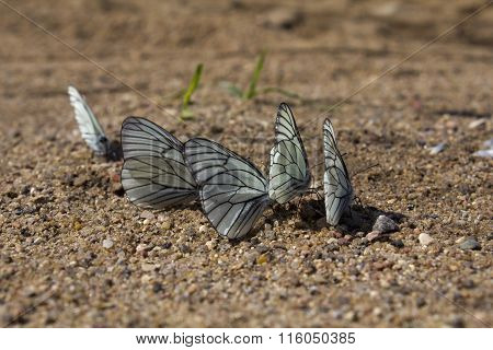 Cabbage Butterfly On Sand