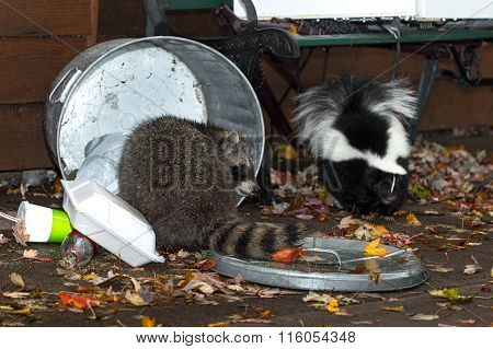Raccoon (procyon Lotor) And Skunk (mephitis Mphitis) Raid Trash