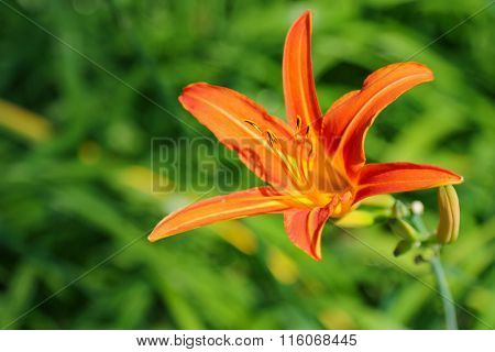Selective focus of Tawny Day lily (Hemerocallis fulva) orange flower on a sunny day in summer
