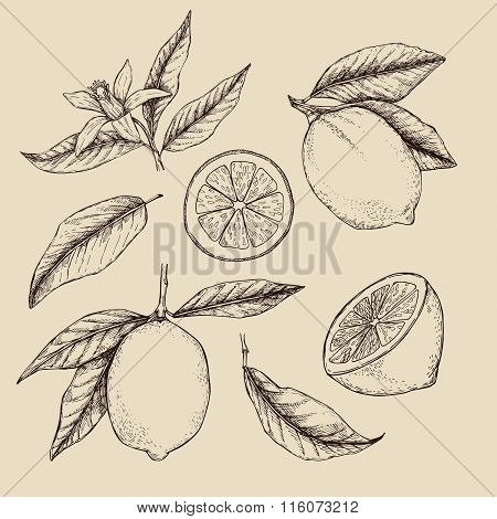Hand Drawn Vector Illustration - Collections Of Lemons. Branch With Lemon. Lemon Blossom