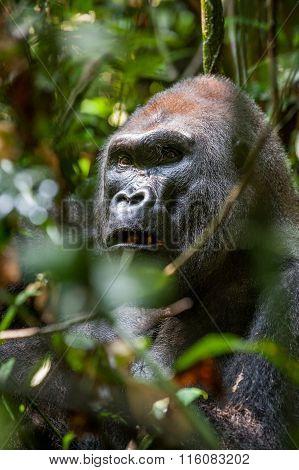 Portrait Of A Western Lowland Gorilla (gorilla Gorilla Gorilla) Close Up At A Short Distance. Silver