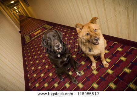 Dogs sitting in pet friendly hotel hallway
