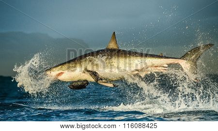 Great White Shark ( Carcharodon carcharias ) breaching in an attack . South Africa