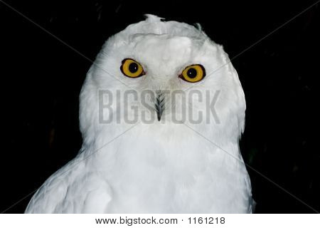 Snowy Owl At Night
