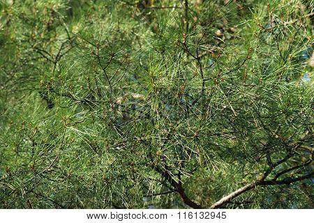 Crohn pine