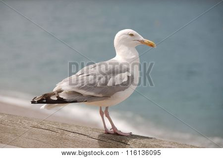 Seagull on a wooden rail