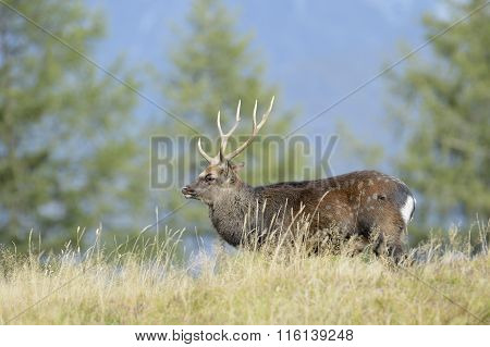 Red deer  in high grass