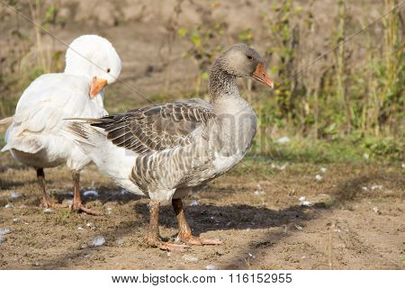 Gray And White Duck