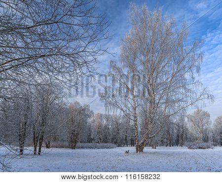 Winter Birches In The Park