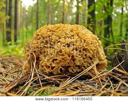 Mushroom sparassis crispa (Sparassis crispa (Fr.) Fr., Clavaria crispa, Manina crispa, Masseeola cri