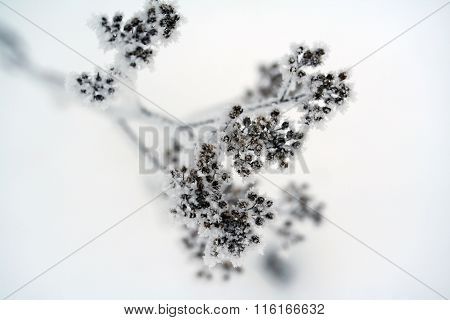 Achillea Millefolium, Known Commonly As Yarrow