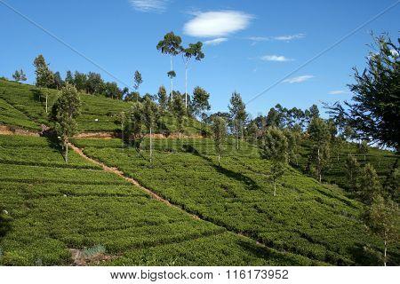 Hilly Tea Plantation On Sunny Day At Sri Lanka, Haputale