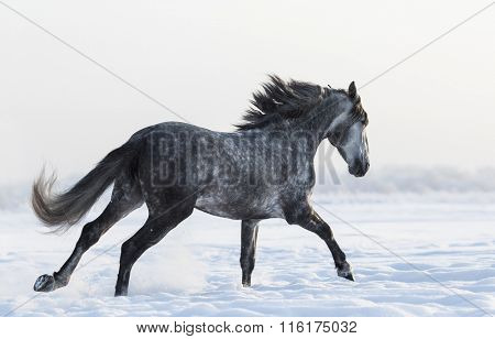 Grey Spanish horse galloping on field at winter time