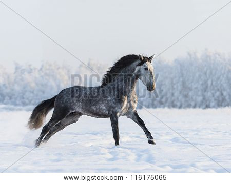 Grey Spanish horse gallping on field at winter time