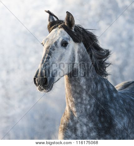 Grey purebred Spanish horse - portrait in motion